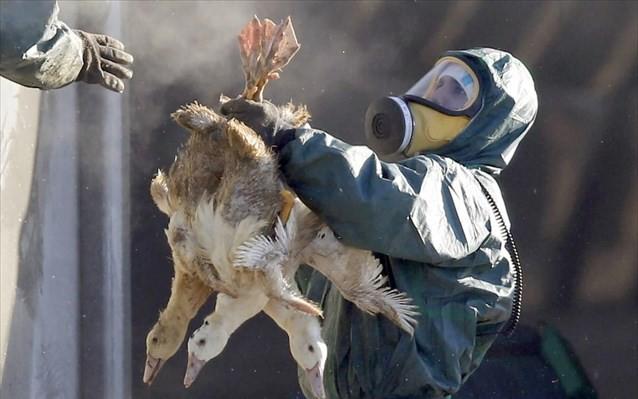 Κι άλλα κρούσματα της γρίπης των πτηνών στην Ευρώπη