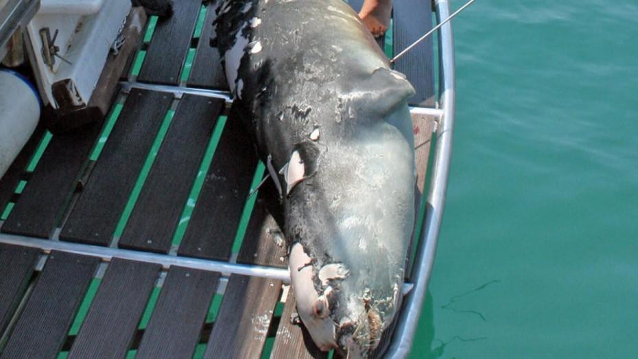 Δολοφονημένος από ψαροντουφεκά ο «Κωστής», η μασκότ της Αλοννήσου